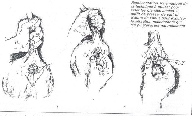 glandes anales