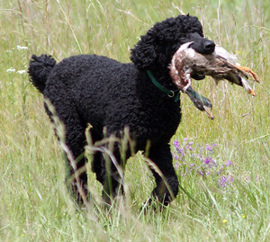 Bo the poodle retrieving a duck
