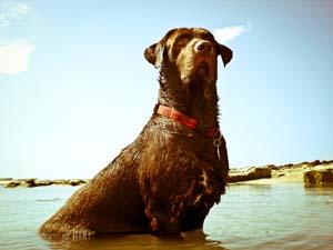 Chocolate Labrador at beach