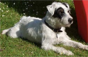 Parson Russell Terrier Chevy02