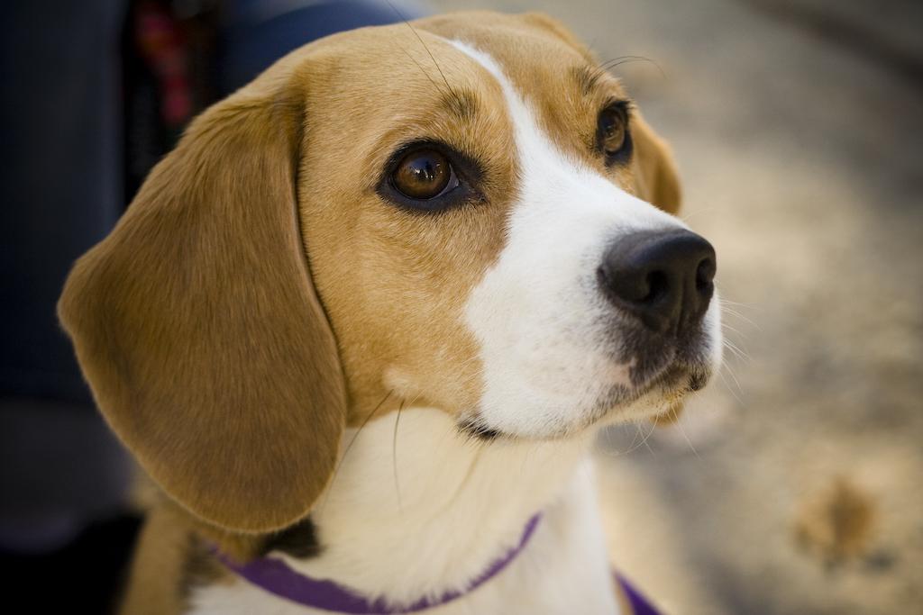 Beagle portrait Camry