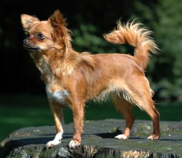 Chihuahua1 bvdb