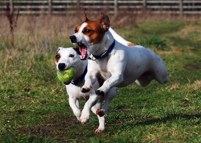 Jack Russell Terriers Eddi  Lola