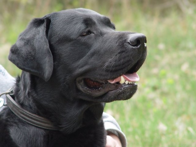 Labrador retriever bulaj1