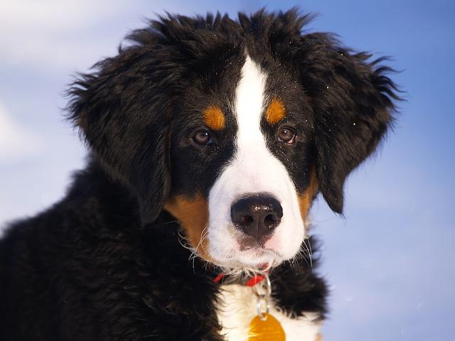 bernese-mountain-dog-67266 640