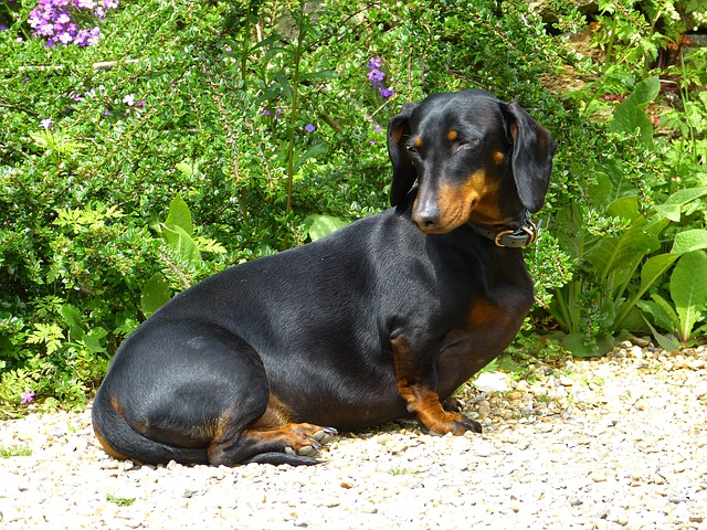 dachshund-123504 640