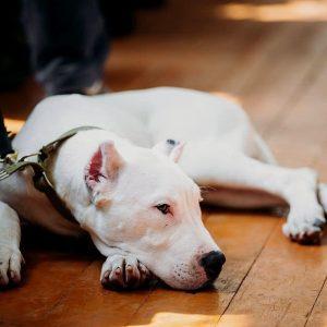 chiot dogue argentin qui dort
