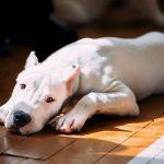 jolie chien dogue argentin