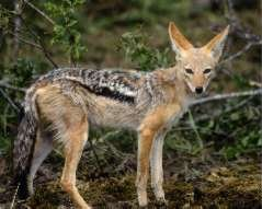 Chacal dore Canis aureus