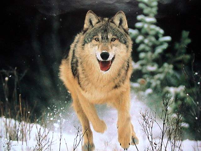 Loups Canis lupus
