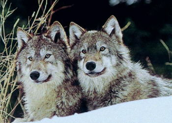 Loups Canis lupus 2