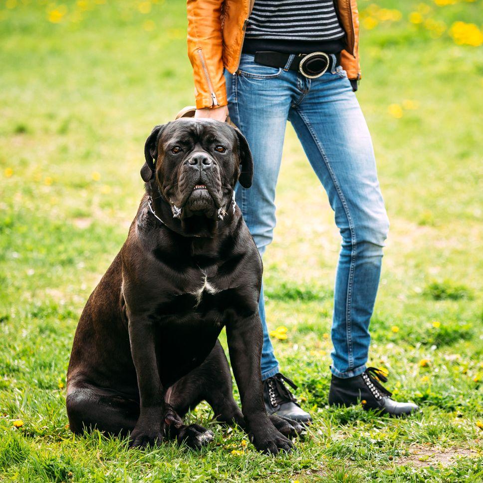 dressage du cane corso