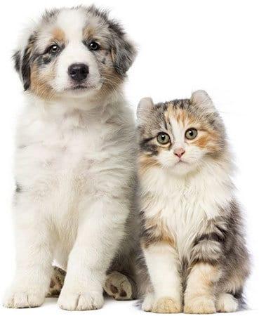 berger australien avec un chat