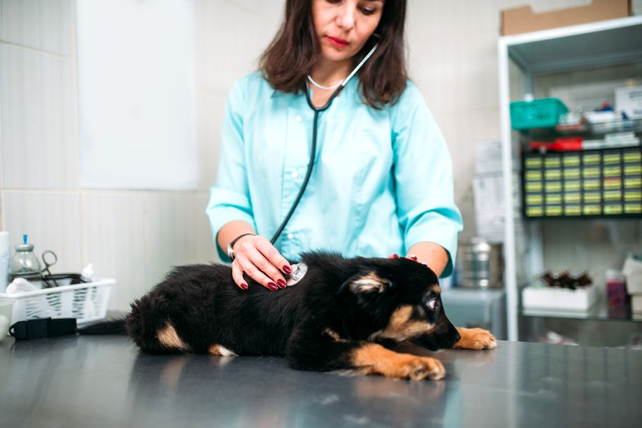 Emmener chiot qui a la diarrhée chez le vétérinaire