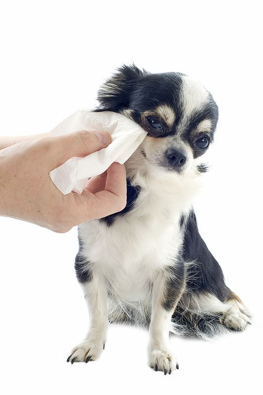 Comment nettoyer les yeux de son chien ?
