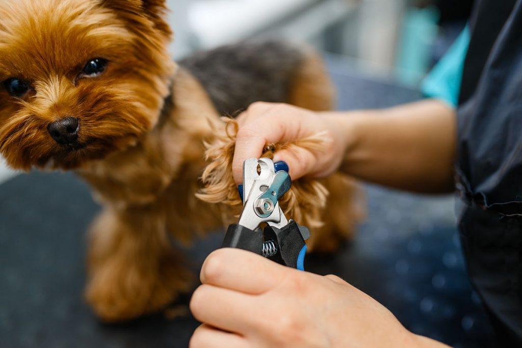 couper les griffes de son chien