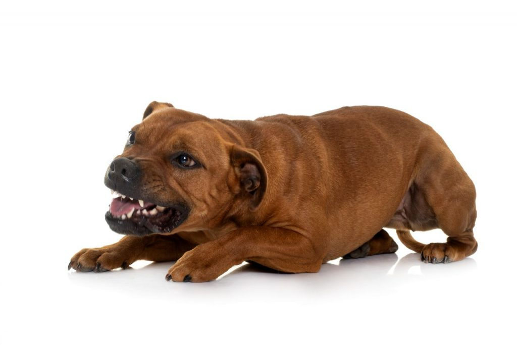 staffordshire bull terrier qui a peur