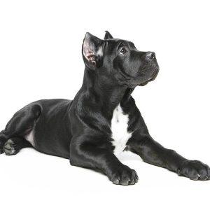 chiot cane corso oreilles coupées