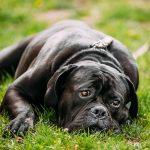 chien cane corso noir